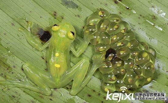 青蛙内脏结构图