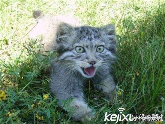 大部分猫科动物小时候都萌萌的