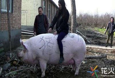 郑州/郑州1500斤猪王能当牛骑这头猪王体长2.1米高1.05米.jpg...