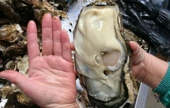 日本 福岛/日本福岛核辐射区惊现巨型生蚝:一个顶俩!...